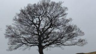 雪空をバックに枝を広げるシンボルツリー