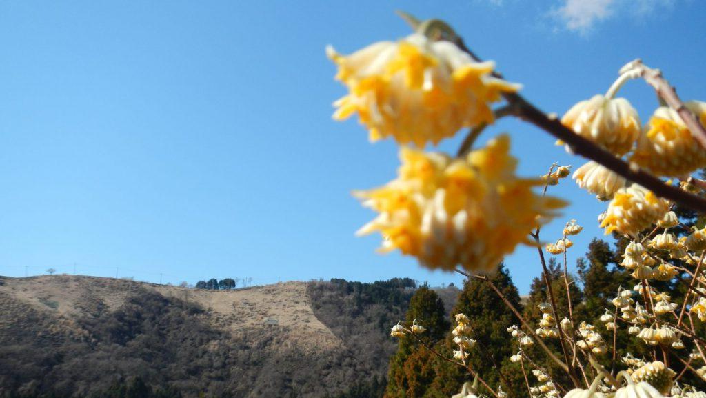 ミツマタ越しに大野山を望む。