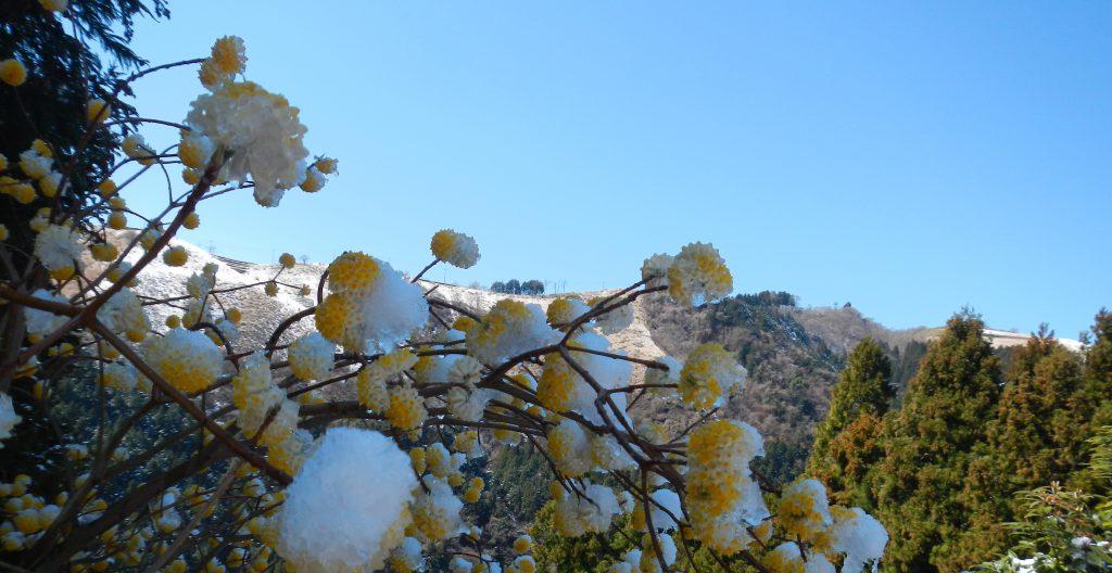 雪を乗せたミツマタと大野山