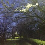 清水ヶ丘公園テニスコート横の桜
