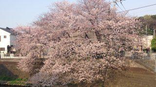 対岸に咲く桜