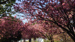 満開に咲いた八重桜カンザンのトンネル