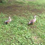 散歩中の2羽のカモ